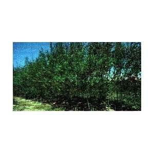 Ameri Willow Tree: Patio, Lawn & Garden