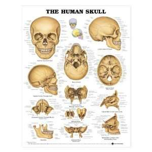 The Human Skull Anatomy Chart:  Industrial & Scientific