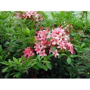 Deciduous Exbury Azalea Pink and Sweet   Purplish Pink