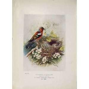 Chaffinch Bird Egg Colour Antique Old Print Fine Art