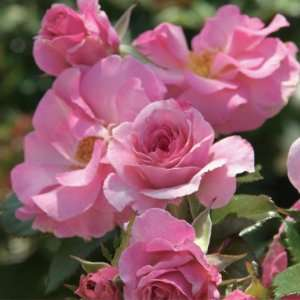 Kimberlina Rose Seeds Packet Patio, Lawn & Garden