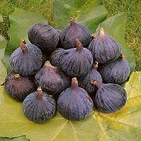 Brown Turkey Fig Tree for Container Growing
