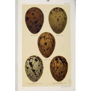 Bird Eggs Gull Species Seebohm Antique Print C1896 Pl33
