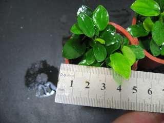 Anubias barteri Petite   LIVE AQUARIUM PLANT MOSS PH