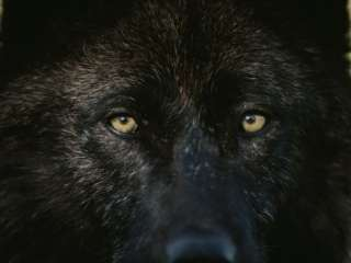 Black Colored Gray Wolf, Canis Lupus, Stares with Golden Eyes