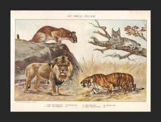Big CATS (Puma, Lynx, Lion and Tiger)    1902 Chromo