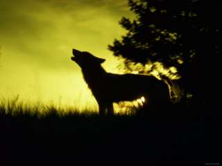 Silhouette of Gray Wolf Standing in Field While Howling Photographic